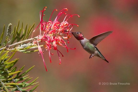 Male Anna's Hummingbird Pollinates Superb Grevillea