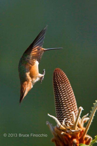 Wings Up As A Male Allen's Hummingbird Prepares To Land On Banksia