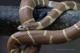 California King Snake Coiled Around A Branch