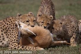 Cheetah Kill Tommy Gazelle