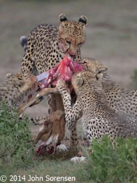 Cheetahs With Kill