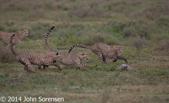Cheetah Watches Cubs Killing Hare