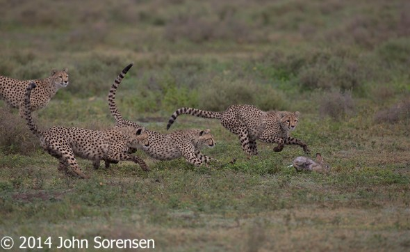 Cheetah Watches Cubs Killing Hare