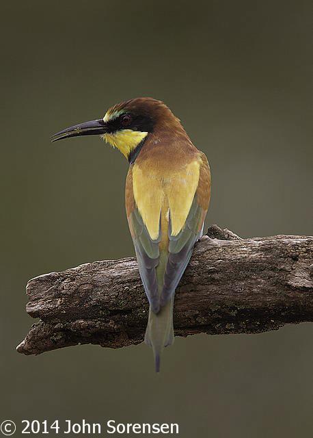 Eurasian Bee Eater