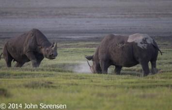 White Rhinoceros Confrontation