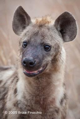An Alert Spotted Hyena