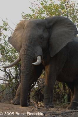 Elephant Along the Letaba River
