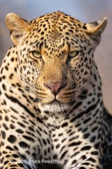 Front Face View Of A Male Leopard