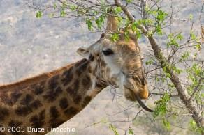 Giraffe With the Long Tongue
