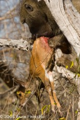 Male Baboon Eats Waterbuck Baby Alive