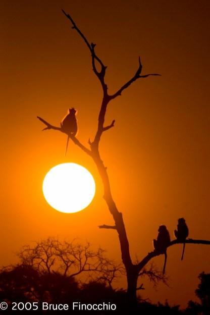 Satara Sunset With Baboons