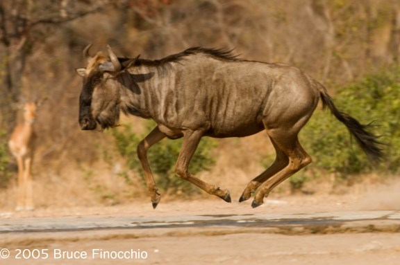 Wildebeest in Mid Air