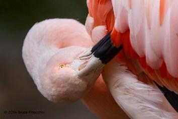 Chilian Flamingo Preens Feathers