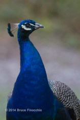 Male Peacock Portrait