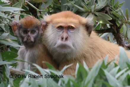 Patus Monkeys Mother and Baby