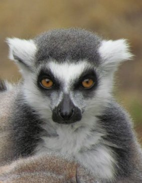 Ring Tail Lemur Portrait