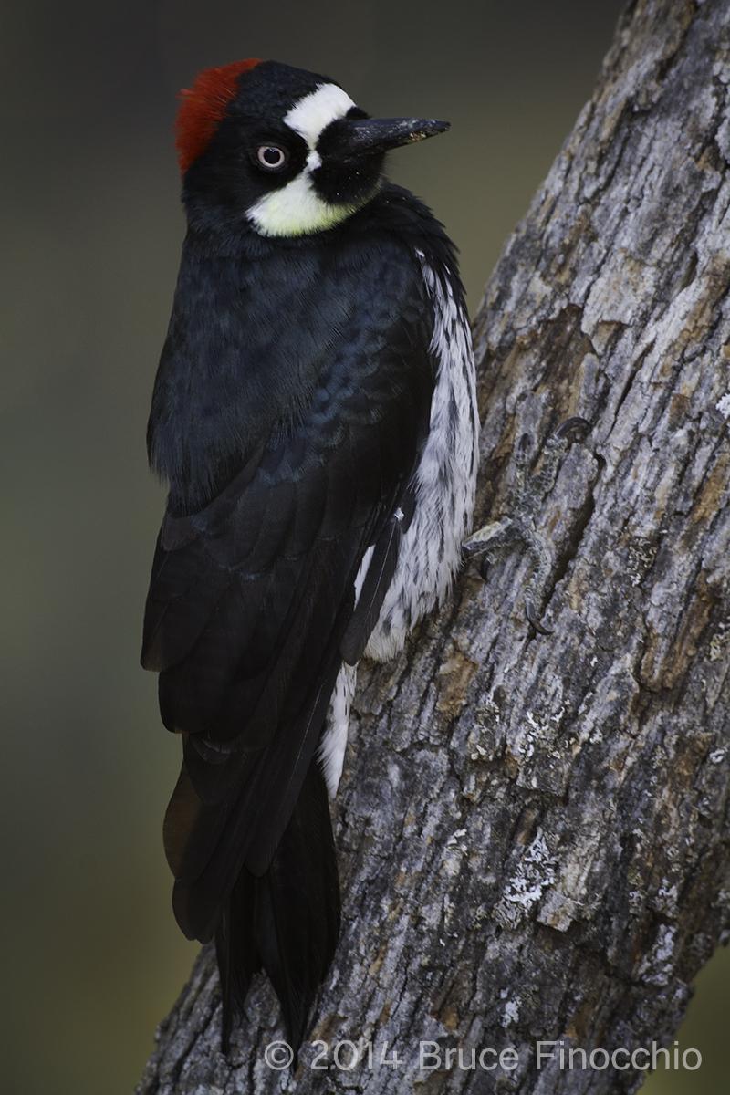 Female Acorn Woodpecker Pause On A Oak Tree