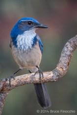 Scrub Jay Perches On A Old Bark Peeled Branch