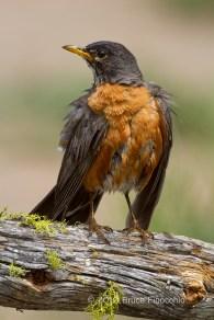 Male American Robin After Bath