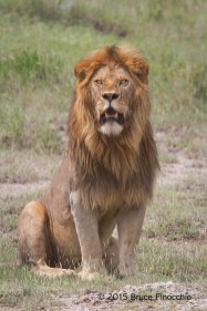 Something Attracts A Male Lion's Attention