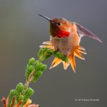 Male Allen's Hummingbird Does Tail and Wing Stretch On Cape Heath