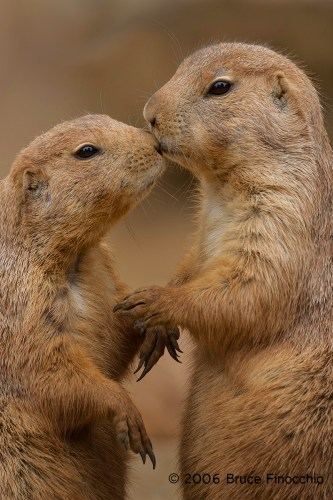 Prairie Dogs Show Affection