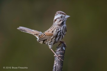 A Fidgeting Song Sparrow Lites On A Branch
