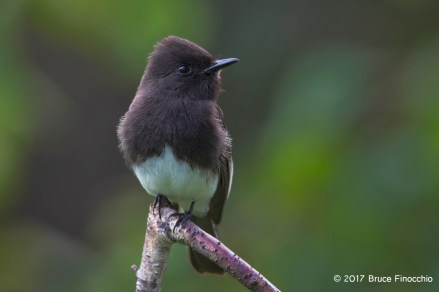 A Watchful Black Phoebe Perched