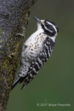 A Wet Female Nuttall's Woodpecker Clinging To A Tree Trunk
