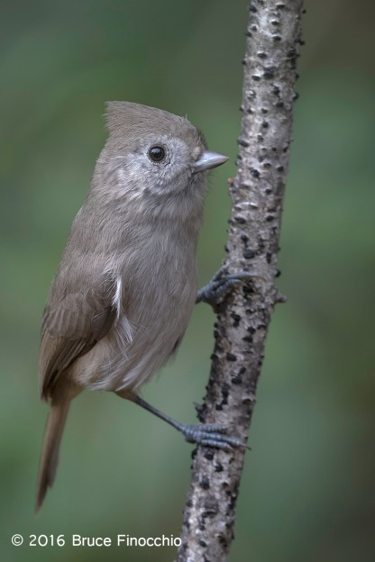 Oak Titmouse Hangs On To A White and Dotted Branch