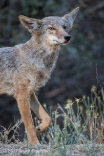 An Alert Coyote Steps Forward