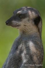 Relax Yet Alert Slender-Tailed Meerkat On Guard Duty