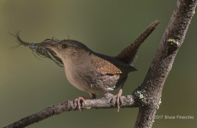 House Wren Gathers Material For Nest Building