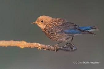 Last Rays Of Light Catch A Juvenile Western Bluebird On A Perch