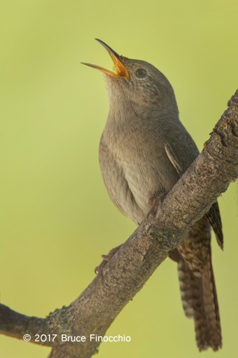 Singing Male House Wren From A Perch