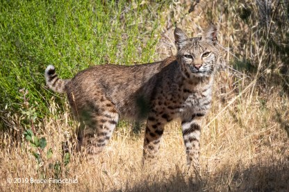 Bobcat In the Long Dry Grass
