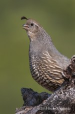 Female California Quail Calls Out From Behind A Old And Gnarled Oak Branch