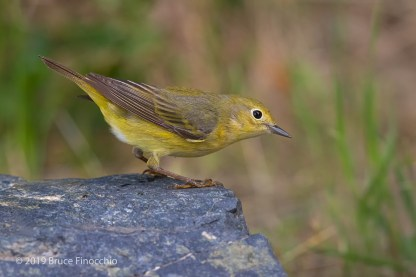 A Female Yellow Warbler Bends Down Preparing To Leave Rock