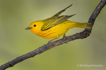 A Perched Male Yellow Warbler With Wings Back And Tail Down