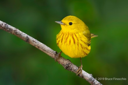 A Portrait Of A Male Yellow Warbler Perched On A Thin Branch
