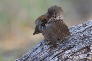 House Wren Preens Wing Feathers While Perched On An Oak Tree Branch