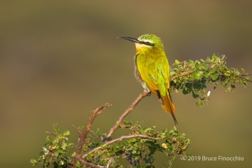 A Perched Little Bee-Eater In The Late Evening Sunlight