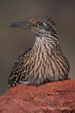 Greater Roadrunner Rest On Red Rock With Lots Of Iron Oxide