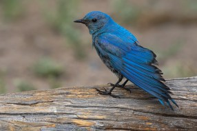 Male Mountain Bluebird Stretches Wing While Perched On A Down Log