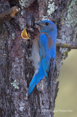 Male Western Bluebird At Nest Cavity With Young Opening Its Mouth Wide