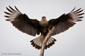 Mature Crested Caracara Comes In For A Landing