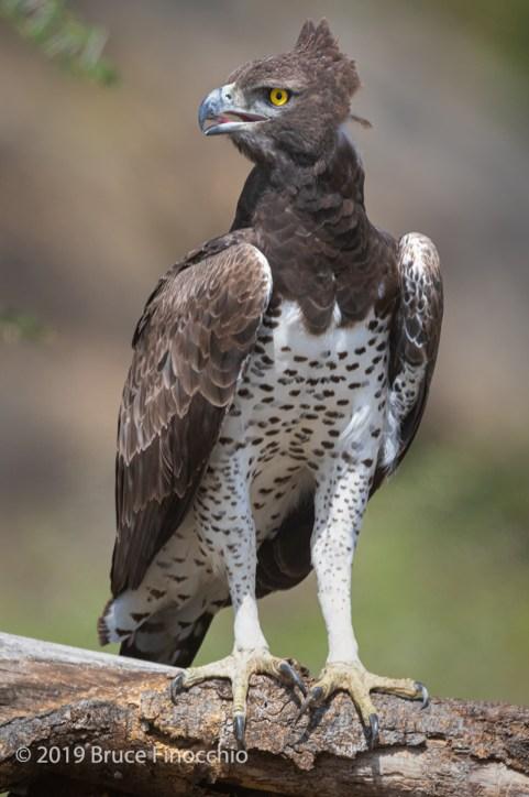 Portrait Of A Martial Eagle