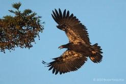 First Light Strikes A Juvenile Bald Eagle Flying Into A Redwood Tree