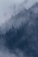 Mountain Hemlock Disappearing Into The Mountain Clouds