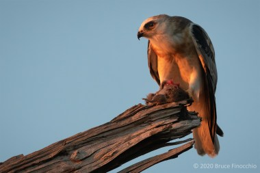A White-tailed Kite Pauses In Its Feeding Of A Captured California Vole During The Last Rays Of Sunlight